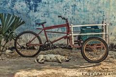 La siesta San Felipe _8024 ch (Emilio Segura Lpez) Tags: mxico perro yucatn siesta sanfelipe triciclo