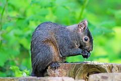 Squirrel 16-0417-8603 (digitalmarbles) Tags: canada nature animal squirrel bc britishcolumbia wildlife sanctuary reifel lowermainland deltabc wildlifephotography reifelsanctuary canonef75300mmf456usm canoneosrebelt5