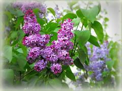 Lilac (Stella VM) Tags: flowers beautiful garden spring lilac