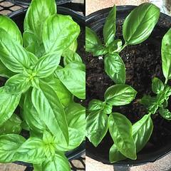 Anyone need a basil plant.. haha... (adamhay.info) Tags: home gardening basil urbangardening propagating uploaded:by=flickstagram instagram:photo=10398407443702764423642753