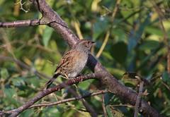 Dunnock (jeannie debs) Tags: brown nature small dunnock prunellamodularis accentors