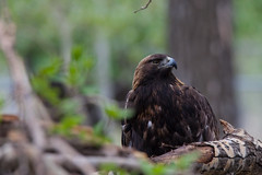 Golden Eagle (Light & Shadows ( Extremely busy )) Tags: golden eagle goldeneagle