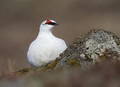 Rjpa - Rock Ptarmigan - Lagopus muta (Baddi89) Tags: bird nature birds animal iceland wildlife ngc birding fugl sland rjpa rockptarmigan fuglar lagopusmuta suurnes