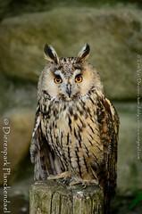 ransuil - Asio otus -   long-eared owl (MrTDiddy) Tags: bird long ear owl planckendael birdofprey vogel eared longeared asio otus dierenpark rans uil roofvogel ransuil dierenparkplanckendael
