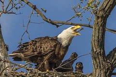 BALD EAGLES NESTING ON LEVEE RD., BROOKVILLE IN. (nsxbirder) Tags: nest baldeagle indiana haliaeetusleucocephalus eaglet brookville whitewaterriver franklincounty