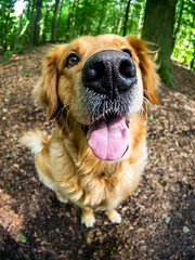 Wilma (TS_1000) Tags: max goldenretriever tiere wilma retriever fisheye hund goldie wald hunde wuff