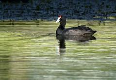 Rednobbed Coot 2 (snatch42) Tags: bird wildlife avian wetland birdphotography avianart avianphotography nikond7100