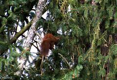 Qu'est-ce que c'est haut... (Crilion43) Tags: france nature ciel arbres nuages allier paysage vichy lapin auvergne sapin biche ecureuil thuya animauxfort