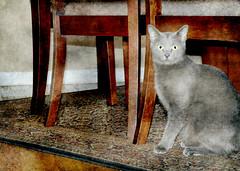 Nyia (floralgal) Tags: pet cat feline graycat catportrait animalportrait felineportrait grayfeline painterlycatportrait