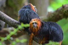 Golden-headed Lion Tamarin (Truus & Zoo) Tags: netherlands animals zoo nederland endangered apenheul apeldoorn dierentuin leontopithecuschrysomelas goudkopleeuwaapje goldenheadedliontamarin