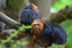 Golden-headed Lion Tamarin (Truus & Zoo) Tags: netherlands animals zoo nederland endangered apenheul apeldoorn dierentuin leontopithecuschrysomelas goudkopleeuwaapje goldenheadedliontamarin