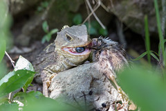 Tuatara eating a quail chick (Brendon & Keryn) Tags: newzealand summer feeding northisland quail tuatara zealandia sphenodon punctatu wellingtonisphenodon punctatui