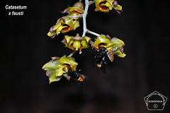 Catasetum x fausti _DSC0418 (Valdison Ap. Gil, Rolim de Moura RO) Tags: brazil brasil catasetum orquidea orquideas mamangava orkids rondõnia xfausti