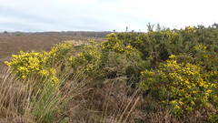 Springfeelings in wintertime, genista blooming at Posbank (at https://youtu.be/pChu4i_qFE0) Tags: yellow postbank broom veluwe genista