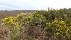 Springfeelings in wintertime, genista blooming at Posbank (Alta alatis patent) Tags: yellow postbank broom veluwe genista