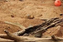 SAM_3432 (Michael Supinski) Tags: florida alligator baldeagle deer turaco jaguar bobcat lorikeets sandhill cassowary warthog hyacinthmacaw bluemacaw brevardzoo cockiel