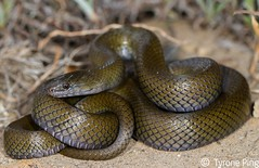 Lycodonomorphus inornatus - Olive Snake.  From Golden Gate National Park, Free State. (Tyrone Ping) Tags: canon flash twin nonvenomous 100mmmacrof28 canon7d 7dcanon tyroneping wwwtyronepingcoza lycondonmorphus httpwwwtyronepingcozasnakeslycodonomorphusinornatus
