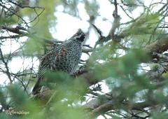 Grévol común Hazel Grouse (Bonasa bonasia) (Corriplaya) Tags: birds aves hazelgrouse bonasabonasia corriplaya grévolcomún