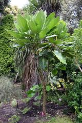 Meryta sinclairii (dracophylla) Tags: puka araliaceae royaltasmanianbotanicalgardens merytasinclairii
