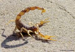 Scorpion (Buthus Ibericus) (AndreiaFMS) Tags: portugal nature animal animals fauna flora photos natureza fear scorpion fotografia alentejo animais animalia arthropoda medo lacrau escorpio scorpiones buthusibericus alacrau andreiasarnadinha artpode escorpioibrico