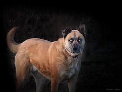 Vilgos szem, bartsgos eb. (Van'elise) Tags: kutya llat portr kutyaportr vilgosszem