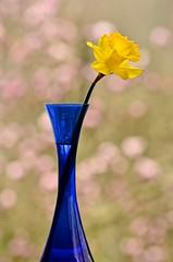 Winter dreamin' (deanrr) Tags: nature yellow is spring bokeh alabama depthoffield daffodil bluevase 2015 yellowdaffodil pinkbokeh morgancountyalabama