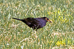 "Turdus Merula feedings for its ""youngsters"" (0062) (Le Photiste) Tags: nature birds animals wow wildlife ngc photographers explore clay turdusmerula soe blackbird merle mirlo merlo fairplay merel giveme5 autofocus amsel photomix ineffable prophoto friendsforever eurasianblackbird simplythebest finegold greatphotographers commonblackbird lovelyshot explored digitalcreations schwarzdrossel melropreto merlenoir mirlocomn inexplore beautifulcapture mrula meiro damncoolphotographers myfriendspictures artisticimpressions simplysuperb thebestshot digifotopro afeastformyeyes simplybecause iqimagequality yourbestoftoday saariysqualitypictures hairygitselite worldofdetails planetearthnature lovelyflickr universalart blinkagain theredgroup photographicworld aphotographersview thepitstopshop showcaseimages mastersofcreativephotography creativeimpuls vigilantphotographersunitelevel1 cazadoresdeimgenes rainbowofnaturelevel1red momentsinyourlife livingwithmultiplesclerosisms infinitexposure djangosmaster bestpeopleschoice"