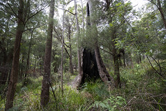 Walpole forest 2