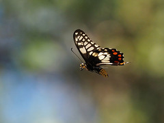 Dainty Swallowtail in flight (Vas Smilevski) Tags: butterfly insect butterflies australia insects nsw westernsydney insectsinflight butterfliesinflight papilioanactus australianinsects daintyswallowtail mc14 olympusomdem1 mzuiko40150mmf28pro