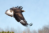 Golden eagle (Phiddy1) Tags: ontario canada birds eagle captive goldeneagle crc