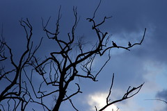Rain dance (Michele's POV) Tags: sky tree monochrome rain birds silhouette clouds contrast waiting suspension branches pending expectation plea portent lifesupport raincoming subtletones beseech cometherain
