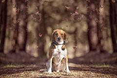 Taz II (Marco.Romoli.Ph) Tags: autumn dog beagle cane canon bokeh natura foliage f2 135mm 6d