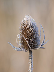 Piquant et givré *----+°-°° (Titole) Tags: cardère teasel titole frost frosted nicolefaton thorny shallowdof challengeyouwinner gamewinner 15challengeswinner