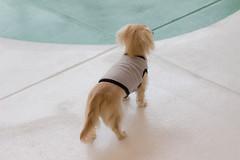 IMG_0306 (yukichinoko) Tags: dog dachshund 犬 kinako ダックスフント ダックスフンド きなこ