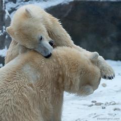 love bites (ewaldmario) Tags: vienna bear two snow animal fur mammal fight nikon couple ears polarbear bite tele lovely tier d800 ursusmaritimus animalportrait zoovienna raufen ewaldmario