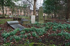 snowdrops in the cemetery