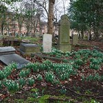 snowdrops in the cemetery