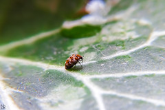 hiding Tiny Tim- lost on a leaf (nicoheinrich86) Tags: red macro green rot nature kitchen up closeup bug germany geotagged tim leaf klein sitting dof close little bokeh pov sony small natur beetle pflanze jena hide tiny grn hiding blatt kfer nahlinse sitzen verstecken wollkrautbltenkfer hx400v