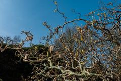 Branches (Briggate.com) Tags: park flowers flower foliage lichen dayfornight goldenacre grantsimonrogers mar11a20161250479
