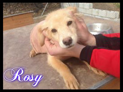 Rosy (santuariolacandela) Tags: españa puppy spain animalsanctuary femaledog adoption rosy cachorra apadrina hembra fosterhome acogida adopción cabezalavaca amadrina santuariolacandela