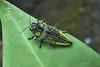 Jewel Beetle (Buprestidae), Singapore (singaporebugtracker) Tags: iridescent 玉虫 buprestidae jewelbeetle yellowbeetle metallicwoodboringbeetle gembug pasirrismangrove singaporebugtracker glossyelytra beetlewingjewellery