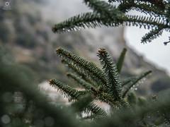 Pinsapos de grazalema (asidonian) Tags: naturaleza verde arbol olympus andalucia sierra gotas cadiz montaa turismo rocio omd grazalema pinsapo em5 em5mk2 em5mkii
