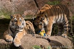 Tiger / Tigre (Doris & Michael S.) Tags: animals tiere tiger tigre