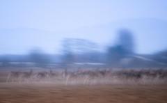 Unleashing (christophe.meyer1985) Tags: nikon fuzzy champs fields animaux flou daim