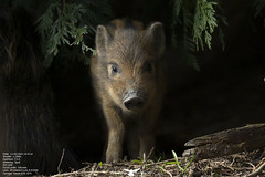 Wild Boar piglet (Thomas Winstone) Tags: wildboar boar pig piglet forestofdean forest canon canon300mmf28 canon1dx nature wildlife wild spring bbc wales postcards photography animals animal woodland woodlands countryside