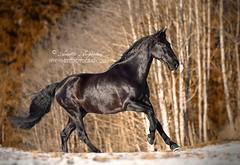Nocturno (Hestefotograf.com) Tags: horses horse oslo norway caballo cheval married welsh arabian justmarried cavalo pferd stallion canter equine equus paard darkhorse friesian purarazaespanol equinephotographer equinephoto hestefotograf
