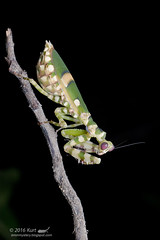 Theopropus elegans_MG_0934 copy (Kurt (OrionHerpAdventure.com)) Tags: mantis mantid theopropuselegans bandedflowermantis mantidsofmalaysia