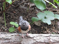 spotted towhee (Upupa4me) Tags: bird nature washington spring anacortes washingtonpark spottedtowhee pipilomaculatus