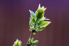 Lilac (MattPenning) Tags: green glow bokeh sony potd lilac m42 shoots springfieldillinois newgrowth oldglass mattpenning manuallens mattpenningcom penningphotography a6000 scewmount focuspeaking sonyalpha6000 ilce6000 ashaisupertakumar11985mm