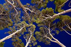 Pines (Lars verb) Tags: sky tree pine evening spain mallorca canonef1740mmf4lusm majorca canoneos5dmarkii